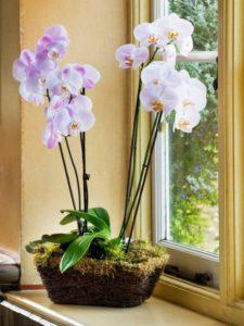 entretien-orchidées-fleurs-blanches-violettes-sphaigne